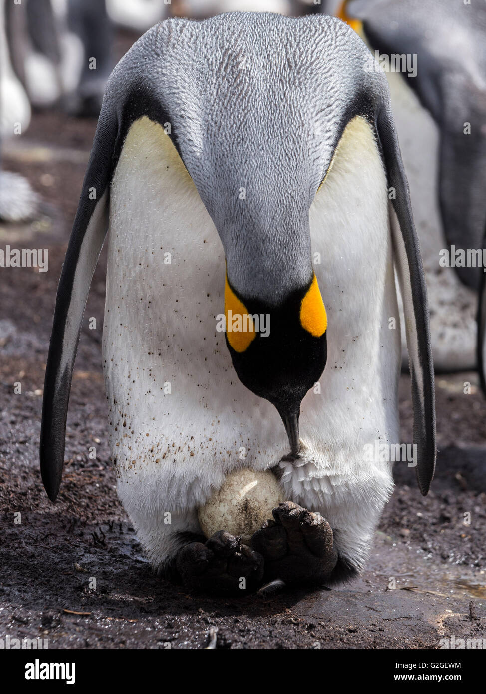 A King Penguin preens it feathers around an egg incubating on its feet - Stock Image