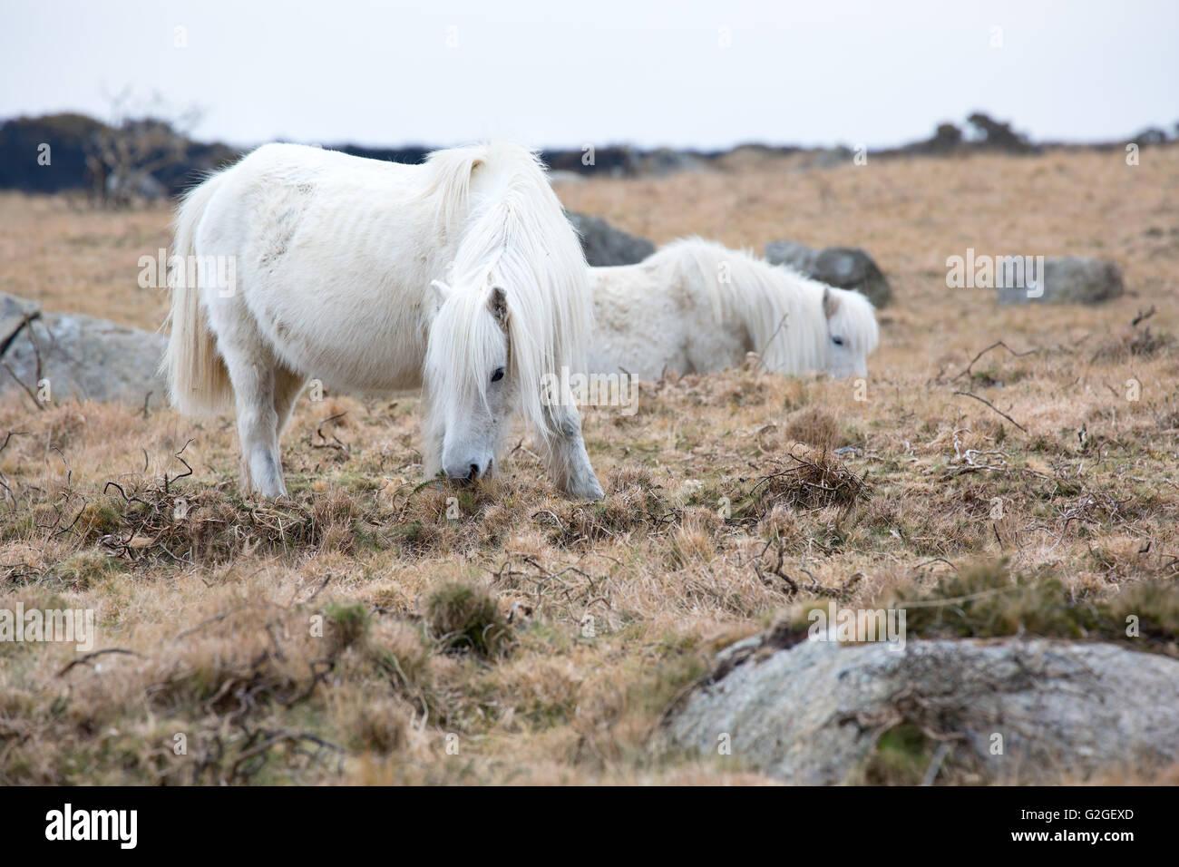 A Dartmoor pony grazing on moorland Dartmoor National Park Devon Uk - Stock Image