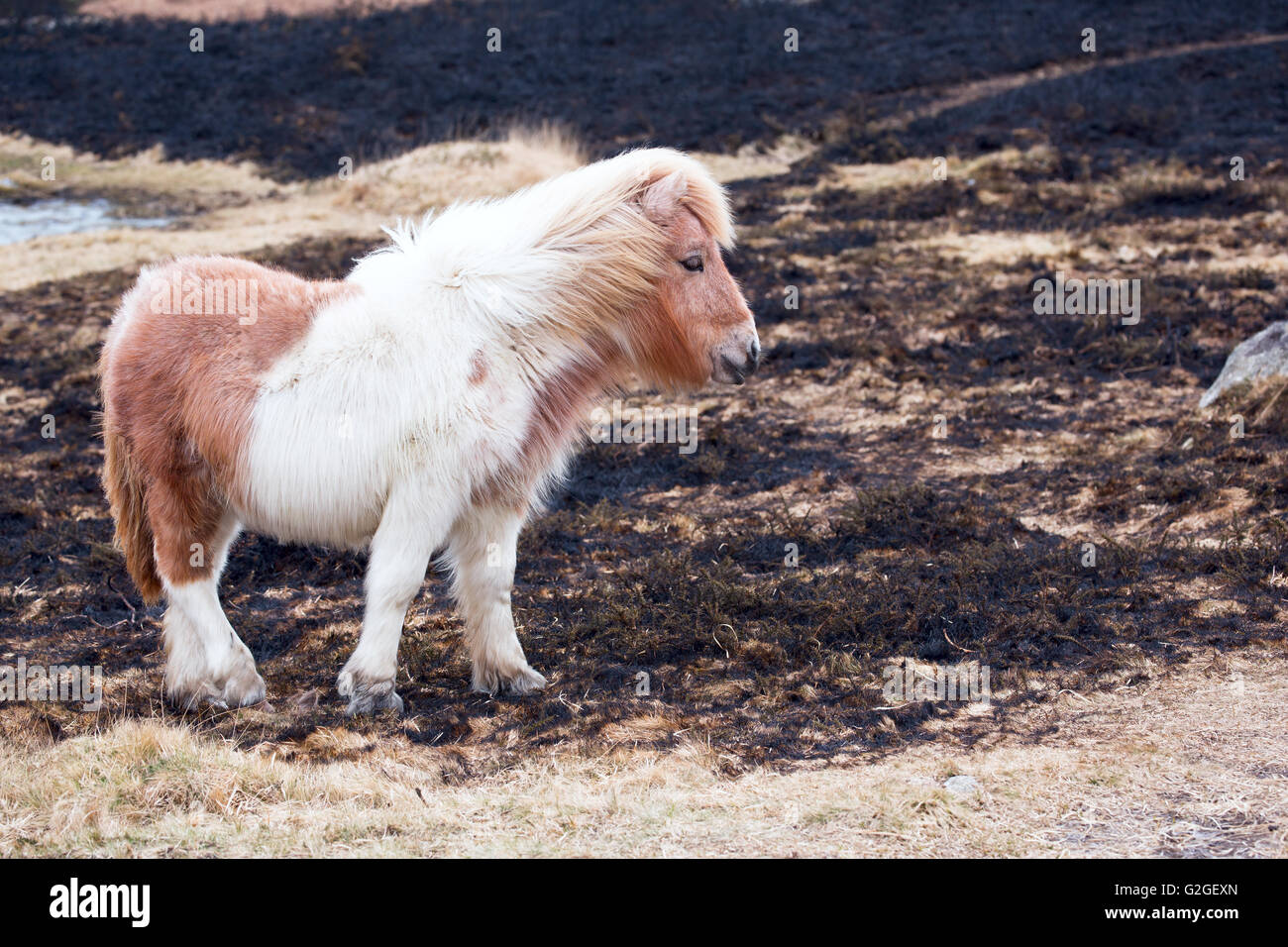 A young foal stood on an area of burnt grass after swaling on Dartmoor National Park Devon Uk - Stock Image
