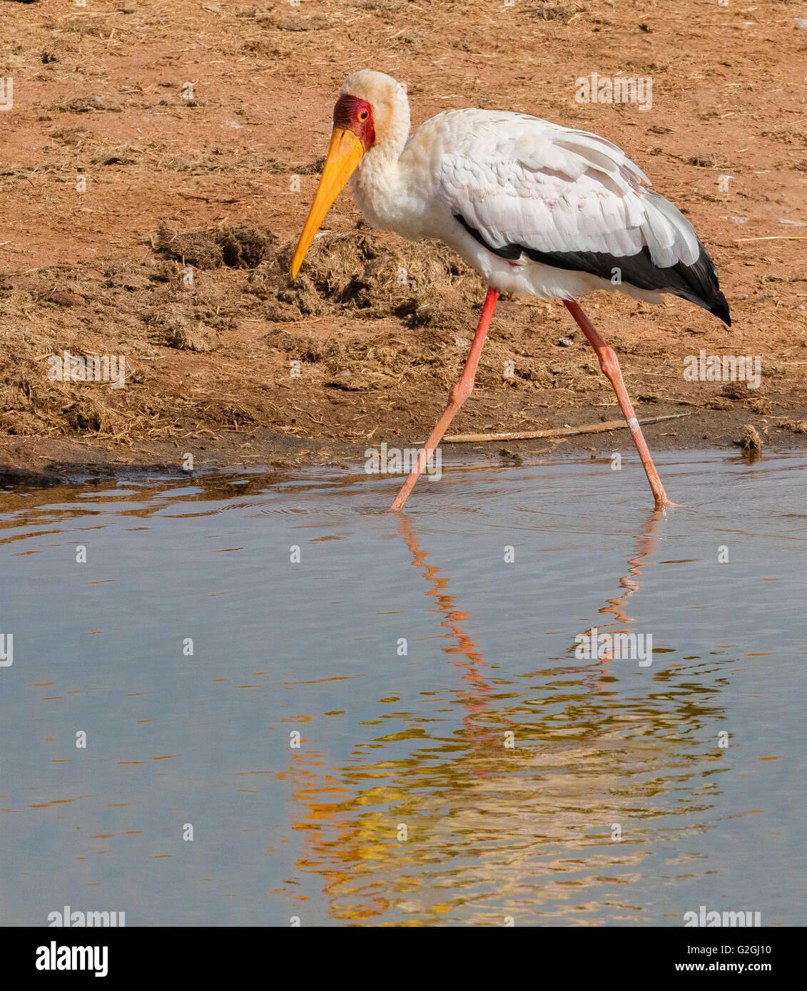 Yellow Billed Stork Mycteria ibis fishing along the rim of a watering hole in Tsavo National Park Southern Kenya Stock Photo