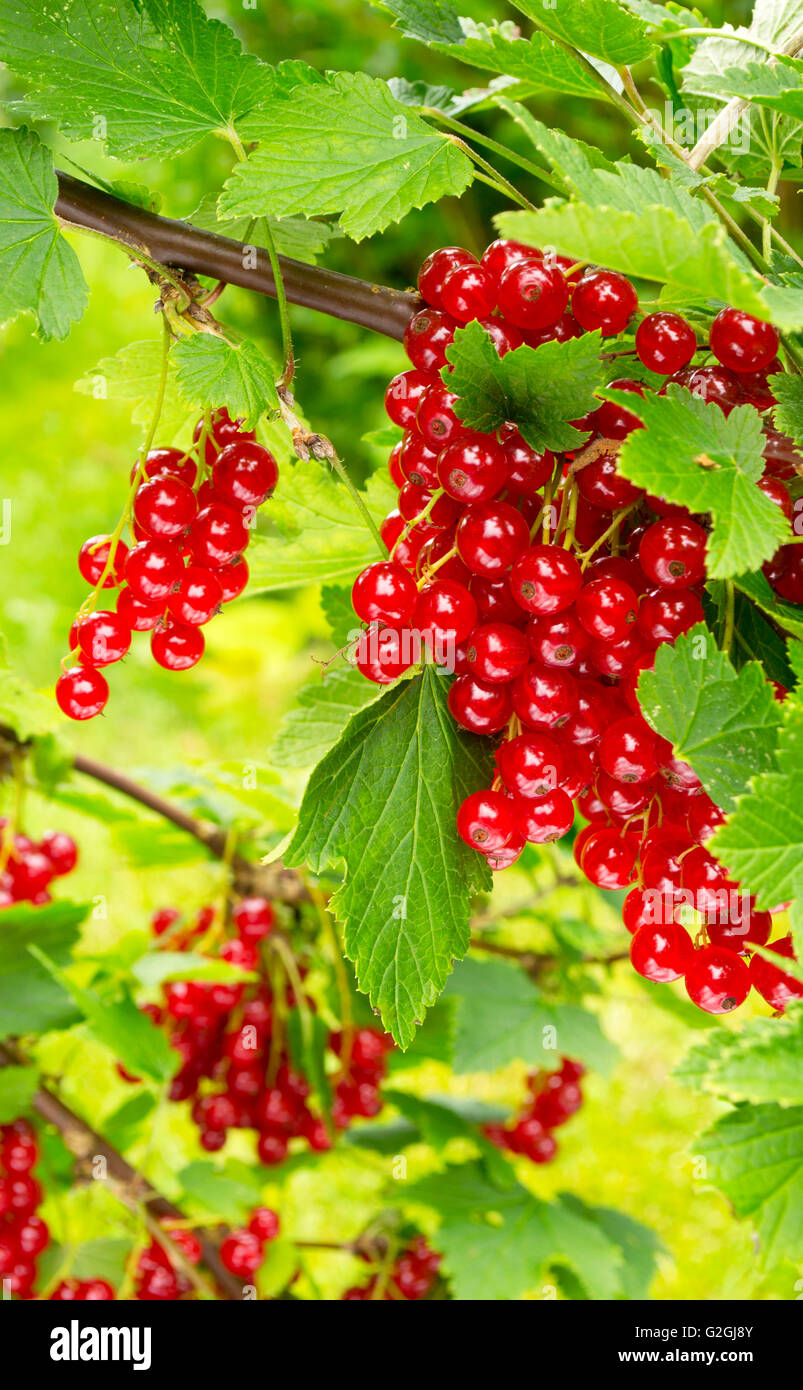 Shiny redcurrant berries in august Stock Photo