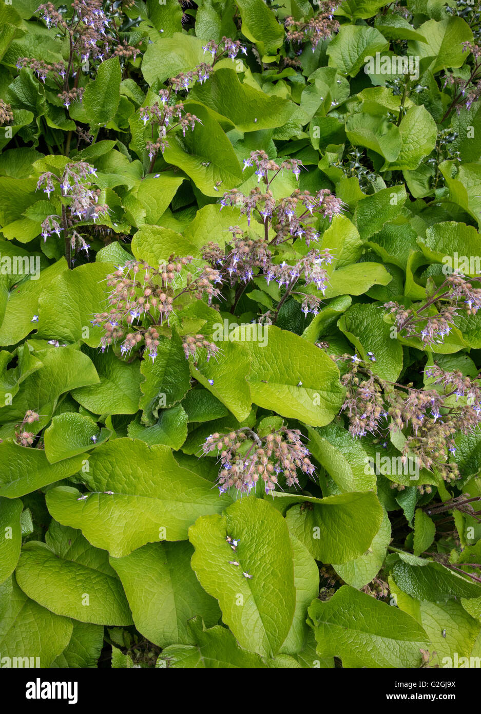 Large leafed Hardy perennial Trachystemon orientalis nown as Abraham Isaac Jacob ina shady border of a Bristol garden - Stock Image
