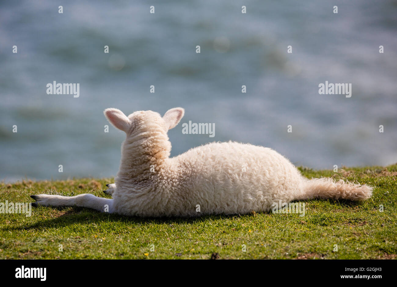 Lamb relaxing on a cliff edge and looking out to sea on the Gower peninsula South Wales UK - Stock Image