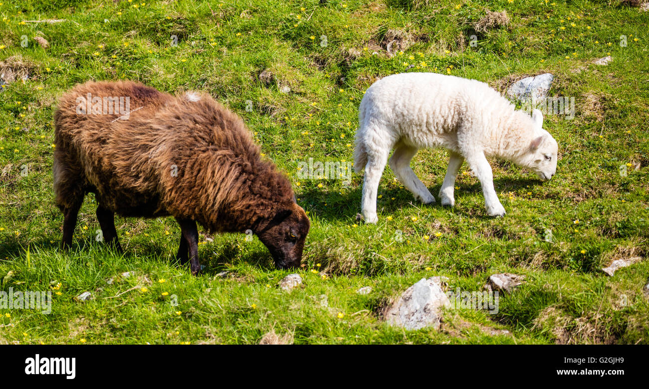 Jacob sheep ewe with white faced sheep lamb on a hillside in Wales UK - Stock Image