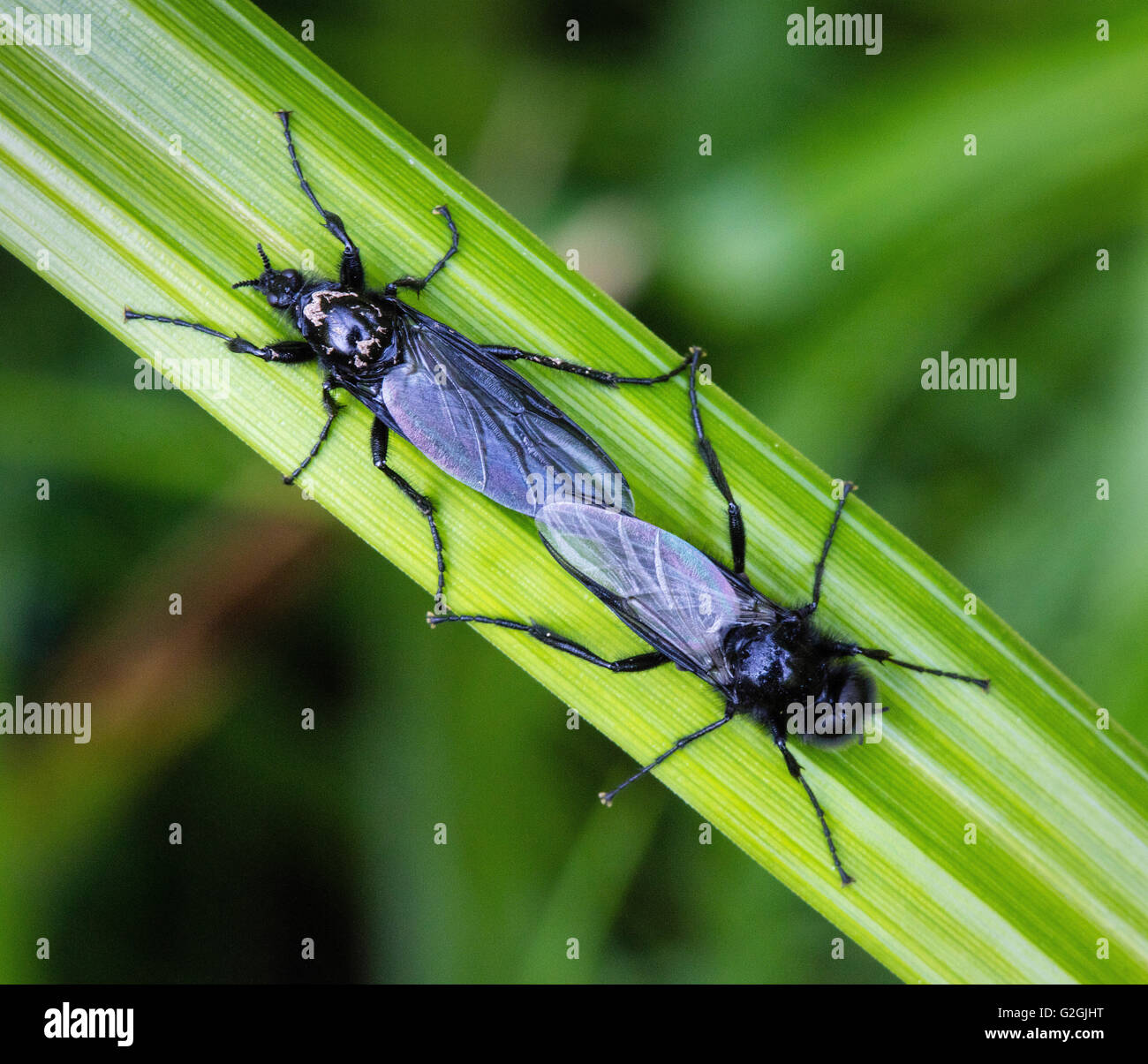 March or St Mark's flies or Love Bugs of the family Bibionidae mating on sedge leaf - Dorset UK - Stock Image