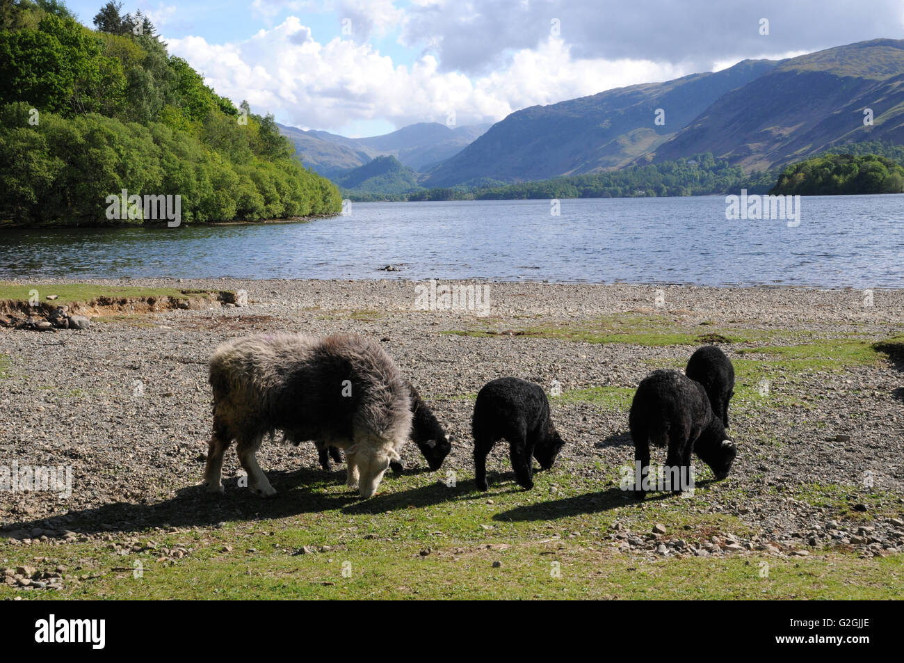 A Herdwick ewe and lambs graze on the shores of Derwentwater in the English Lake District. Herdwicks are typical - Stock Image