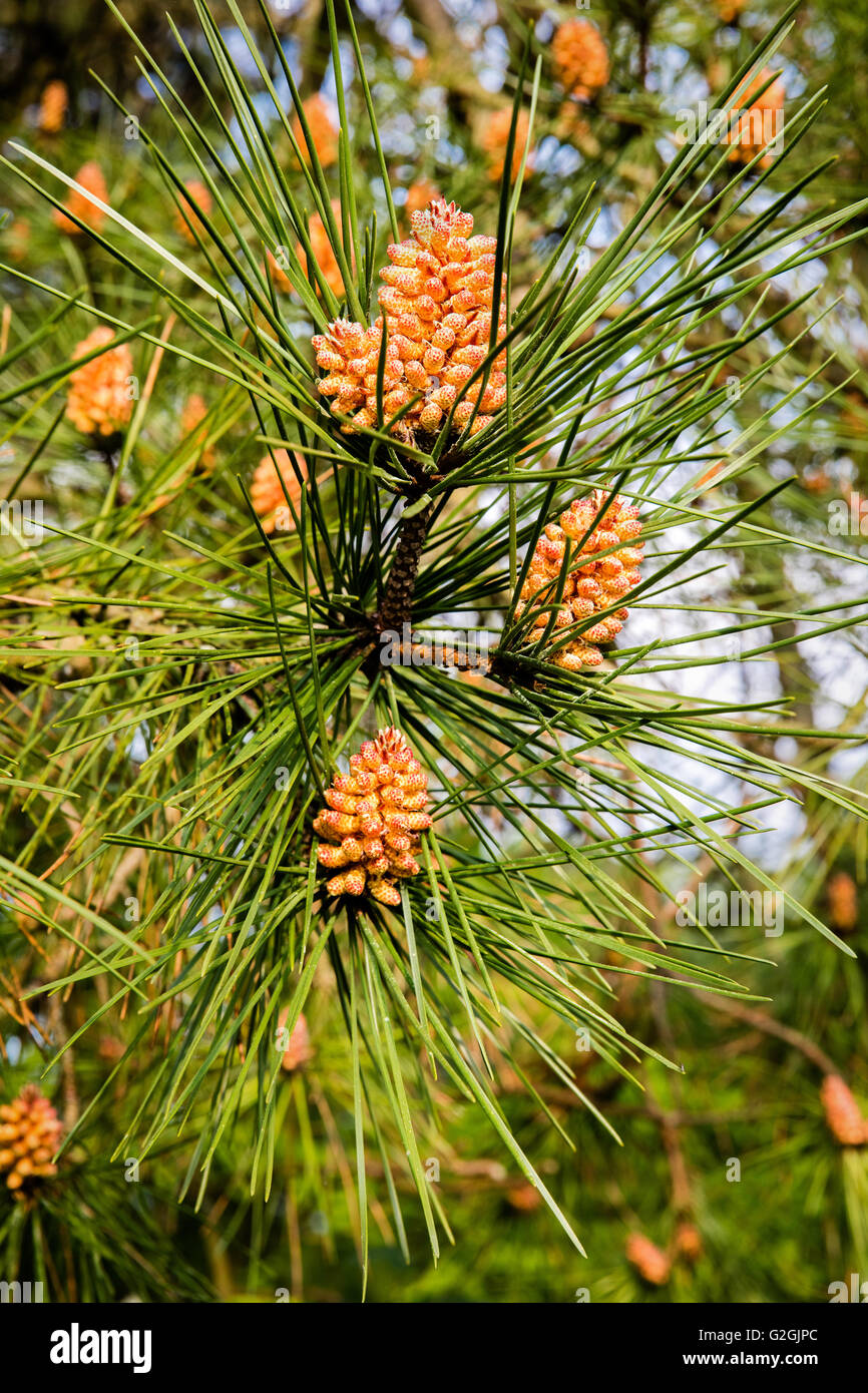 Male flowers of Scots Pine Pinus sylvestris in spring - Dorset UK - Stock Image