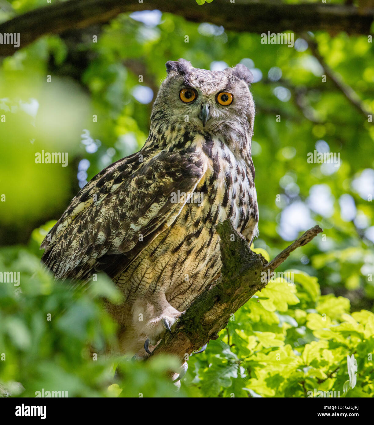 Eagle Owl Bubo bubo staring down from its perch in an oak tree - Stock Image