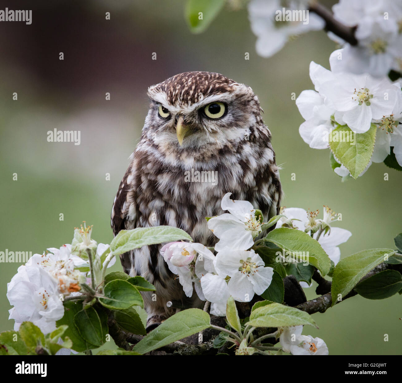 Little Owl Athene noctua posed amongst apple blossom -  trained bird Gloucestershire UK - Stock Image