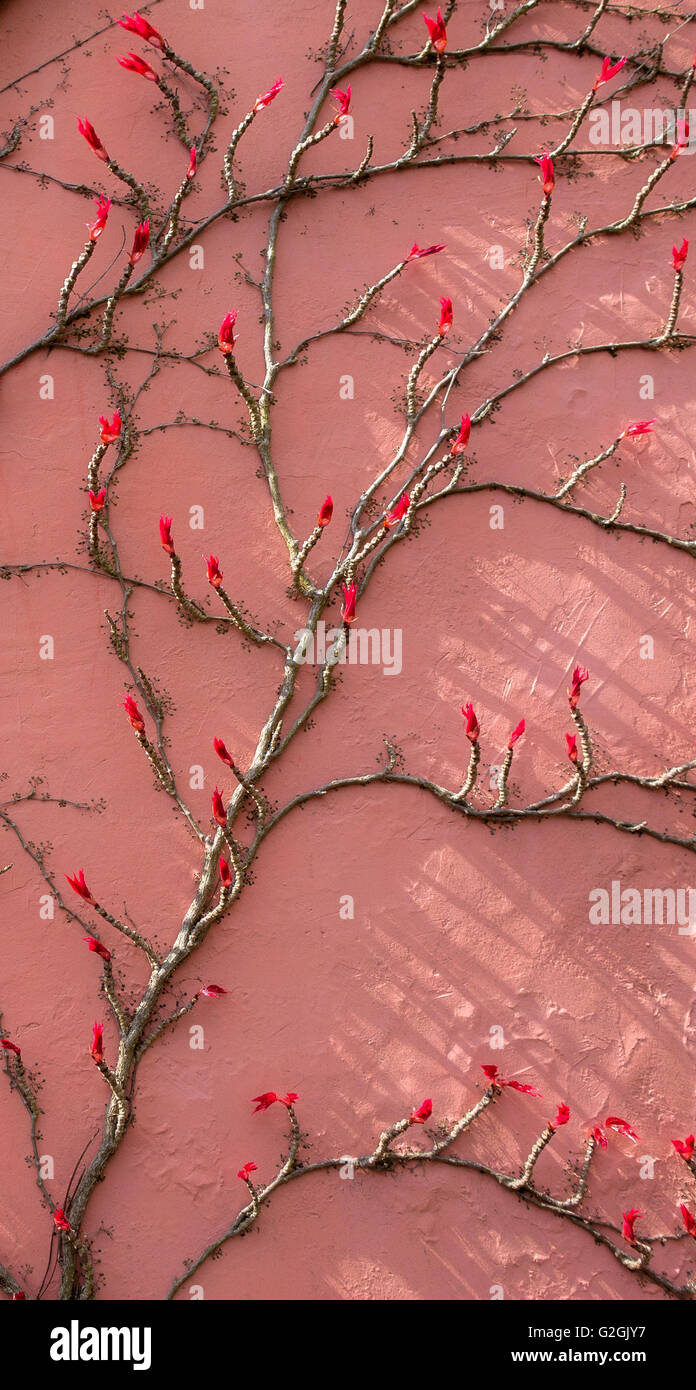 Red leaf buds of Virginia Creeper Parthenocissus quinquefolia emerging in early spring on a pink house wall in Bristol - Stock Image
