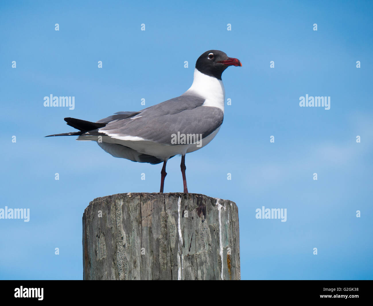 Gull observing from a pole - Stock Image