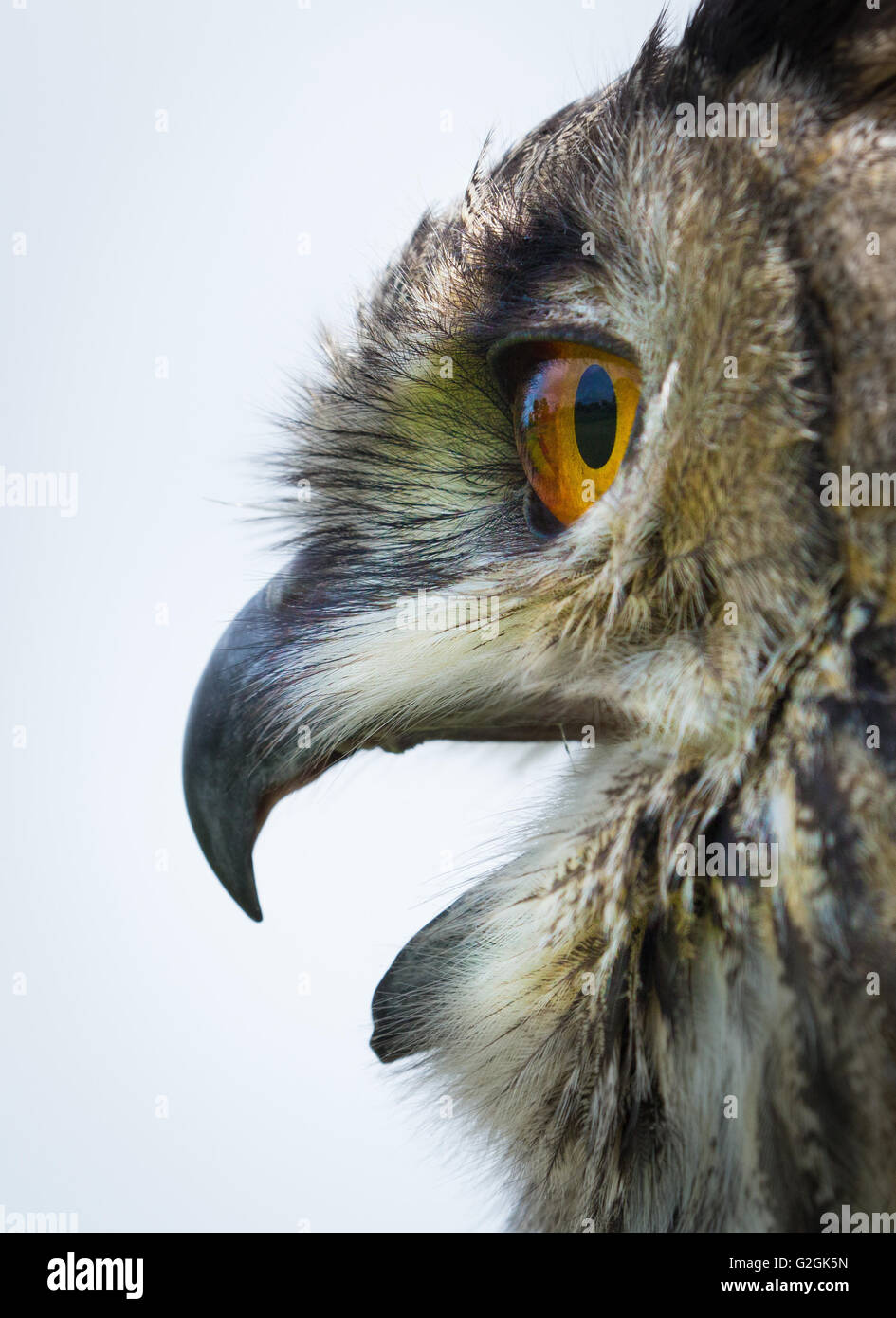 Close up portrait of Eagle Owl Bubo bubo calling and showing large orange eyes and hooked bill - Stock Image