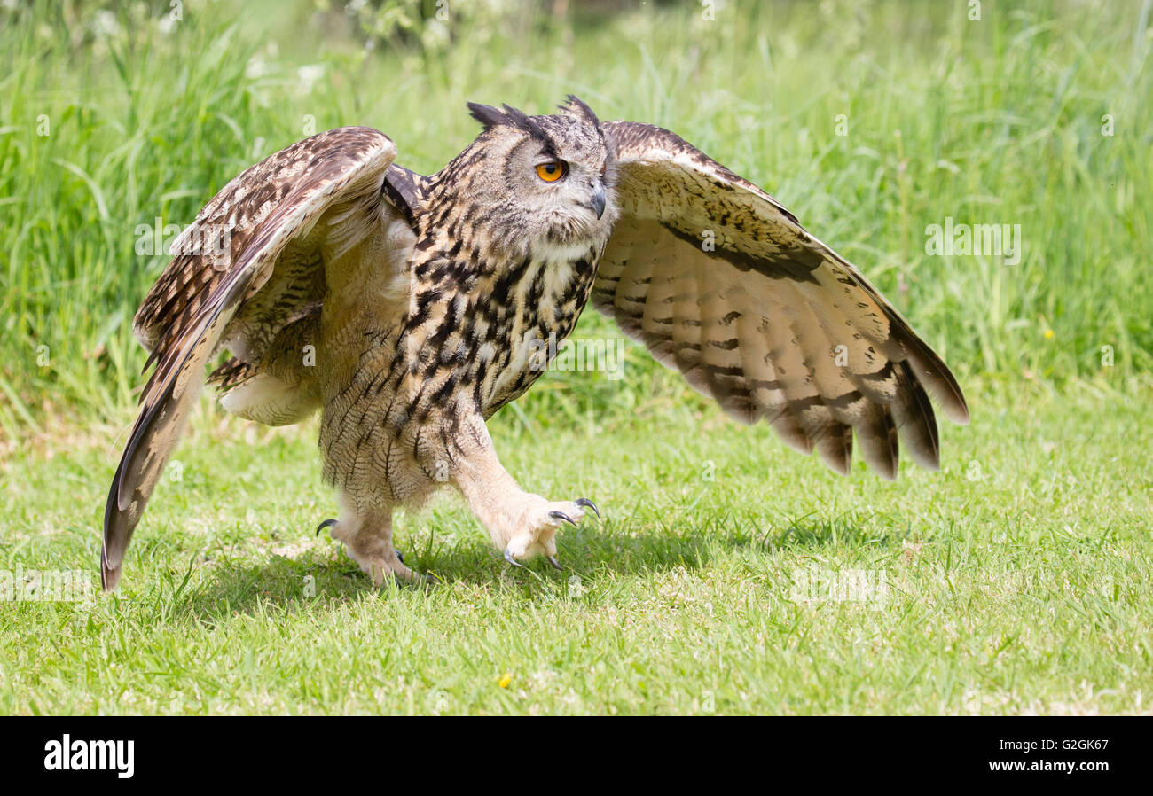 Eagle Owl Bubo bubo walking along the ground with wings outstretched  - trained bird Gloucestershire - Stock Image