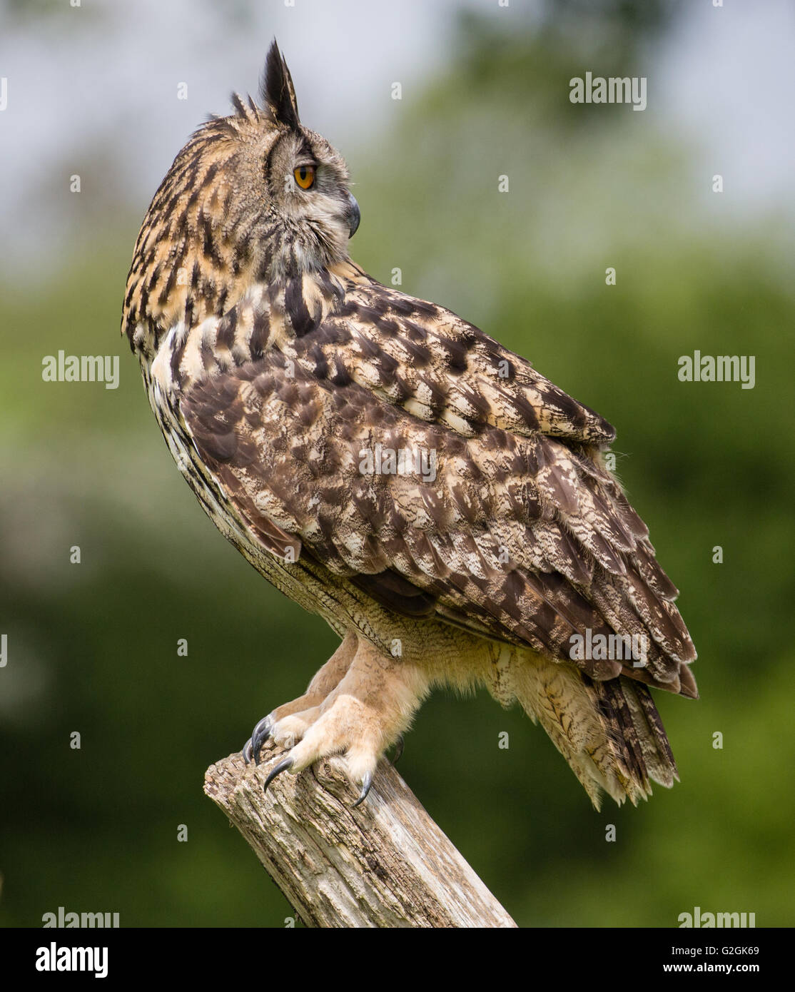 Eagle Owl Bubo bubo showing its ability to rotate its head through 180 degrees and look backwards - trained bird - Stock Image