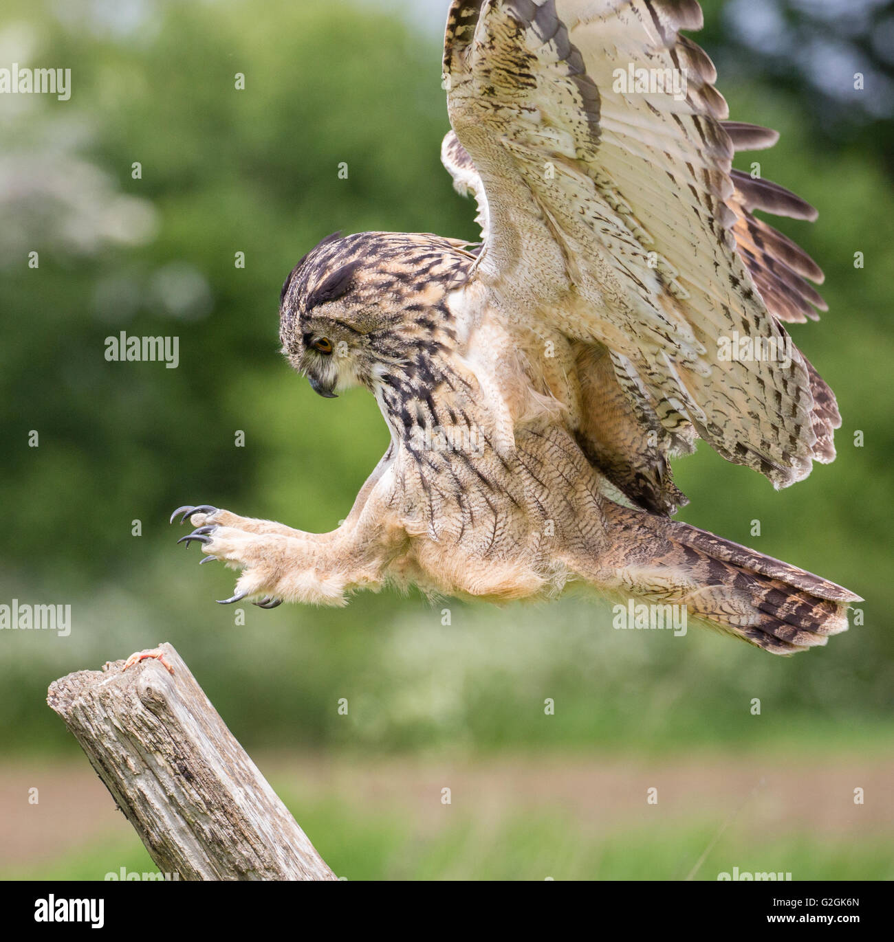 Eagle Owl Bubo bubo in flight over a Gloucestershire field - trained bird - Stock Image