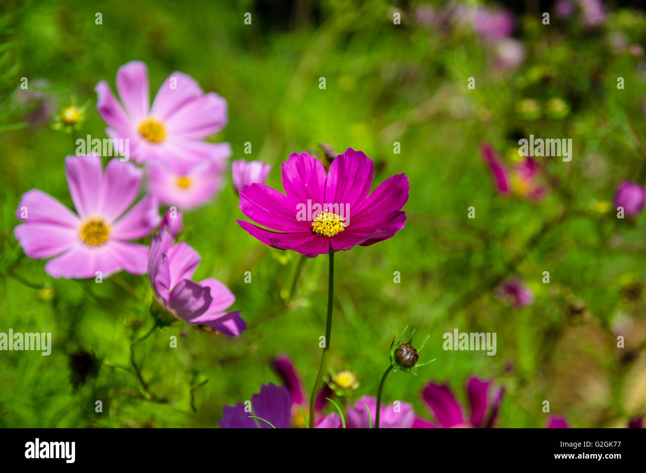 Pink cosmos flower and green leaves stock photo 104857851 alamy pink cosmos flower and green leaves mightylinksfo