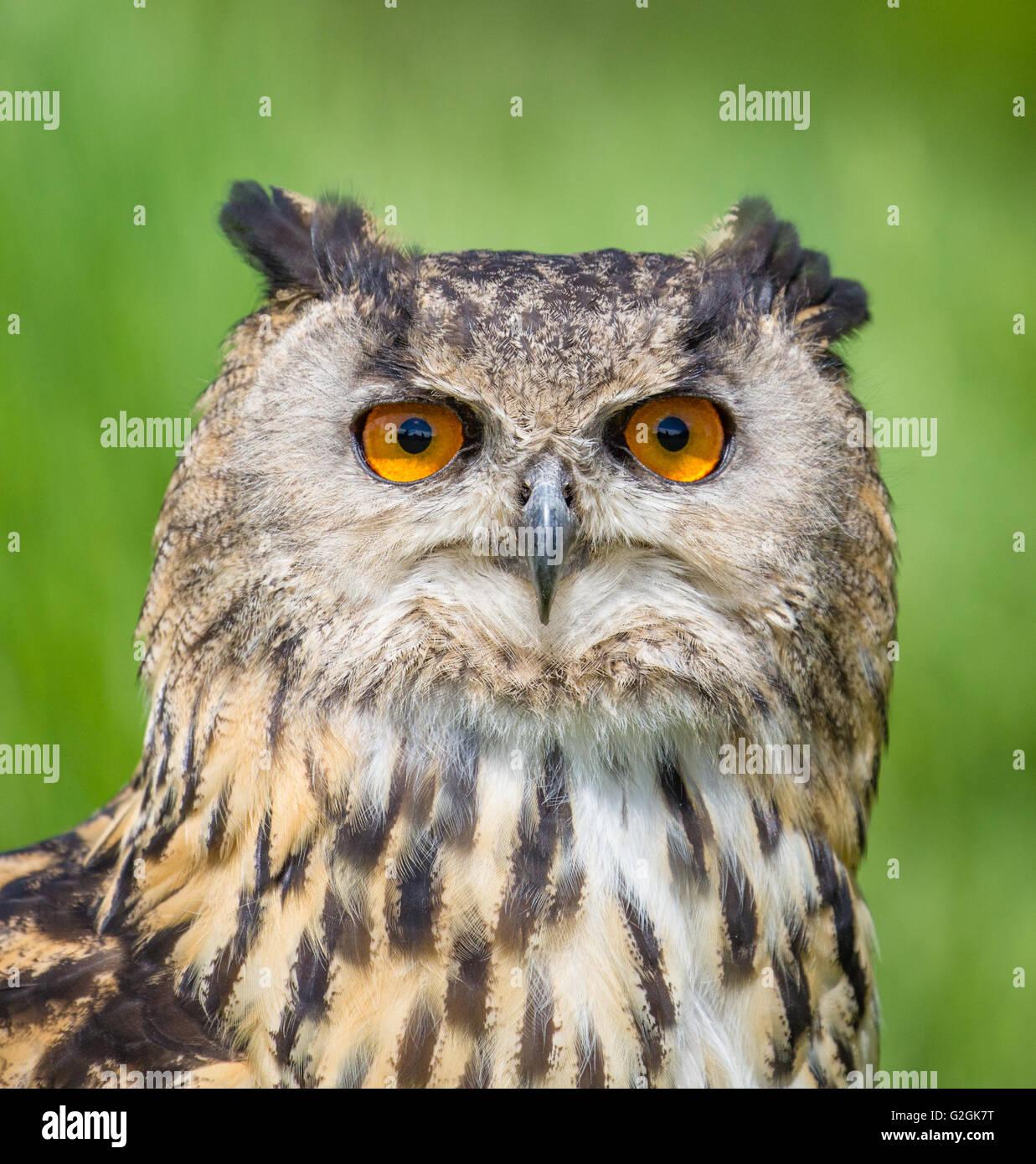 Portrait of Eagle Owl Bubo bubo  showing piercing orange eyes - a tamed bird Gloucestershire UK - Stock Image
