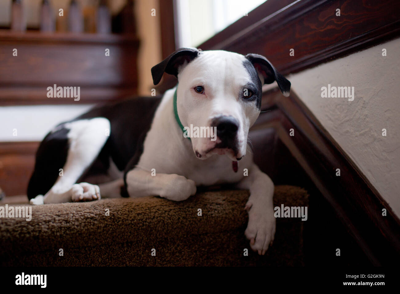 Pit Bull Dog Relaxing on Stairs, Close-Up - Stock Image