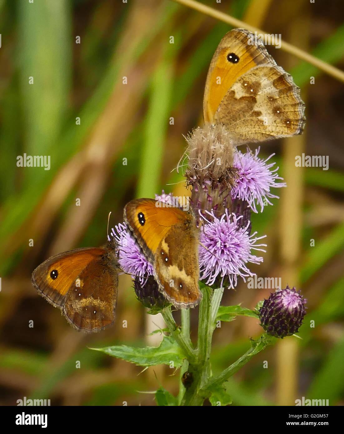Three butterflies on a thistle Stock Photo