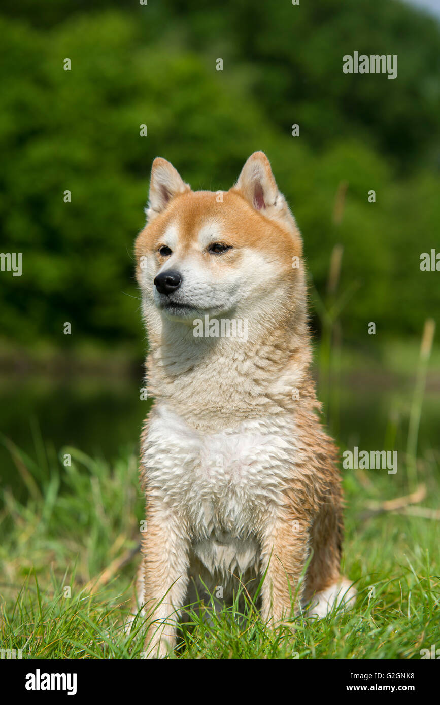 close up on shiba inu dog - Stock Image