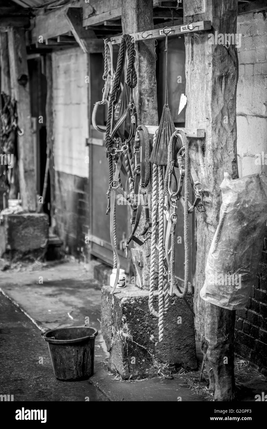 Black and white image of horse bridles and reins hanging on hooks at a stable - Stock Image