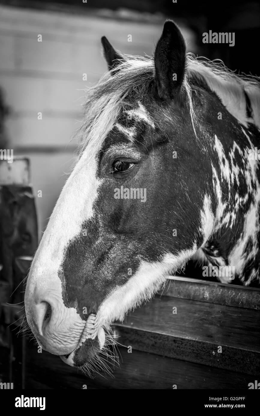 Resting horse at Croft Farm Riding Centre - Stock Image