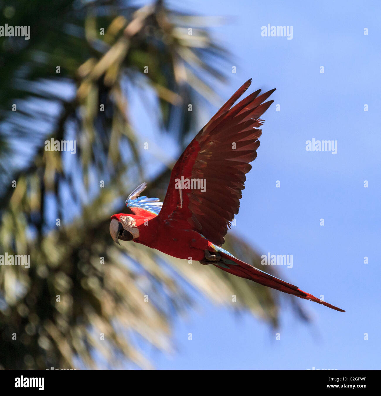 Red and Green Macaw, Manú National Park, Peru - Stock Image