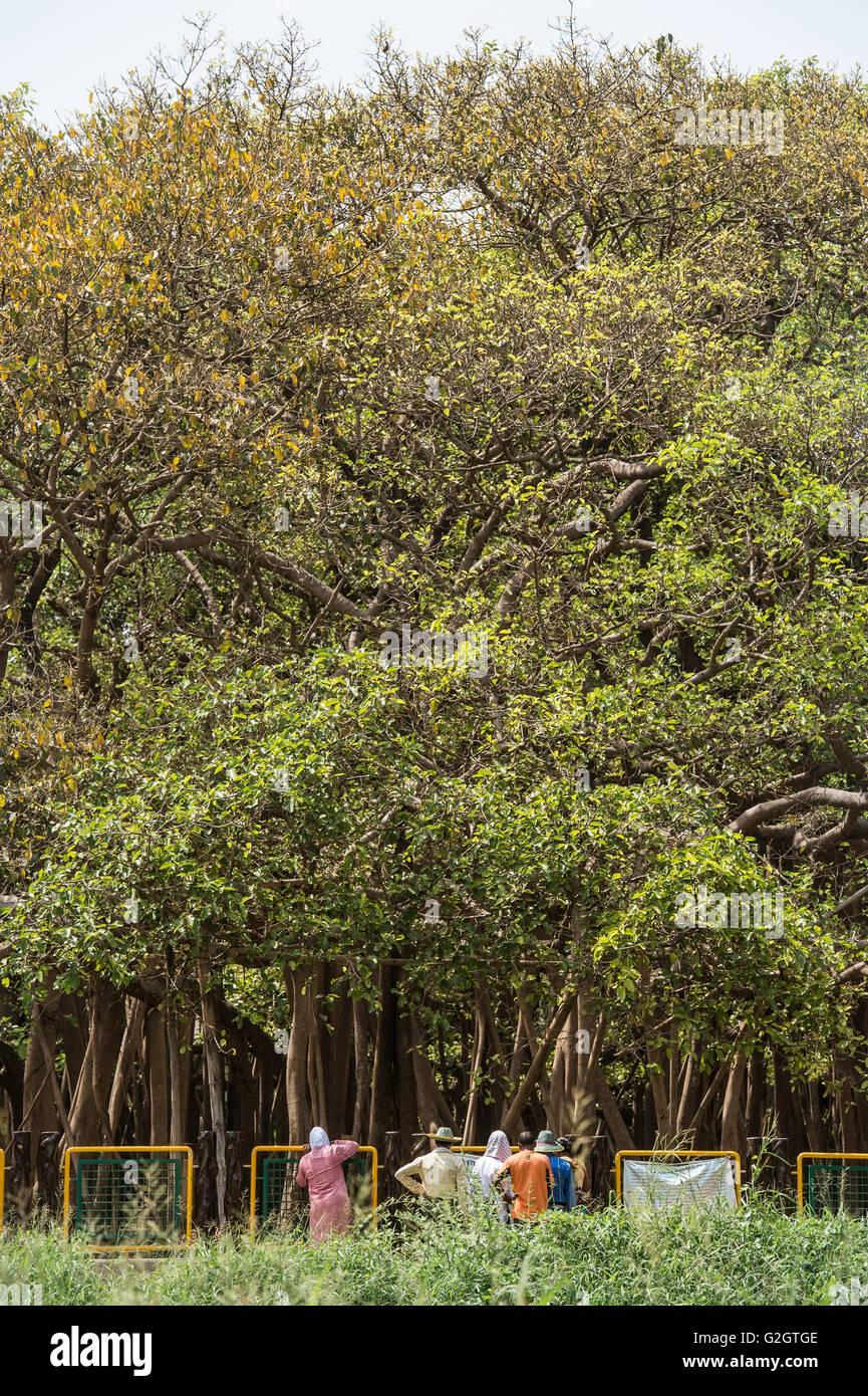 Ficus benghalensis,  Indian banyan, Moraceae, Indian Subcontinent, Asia - Stock Image