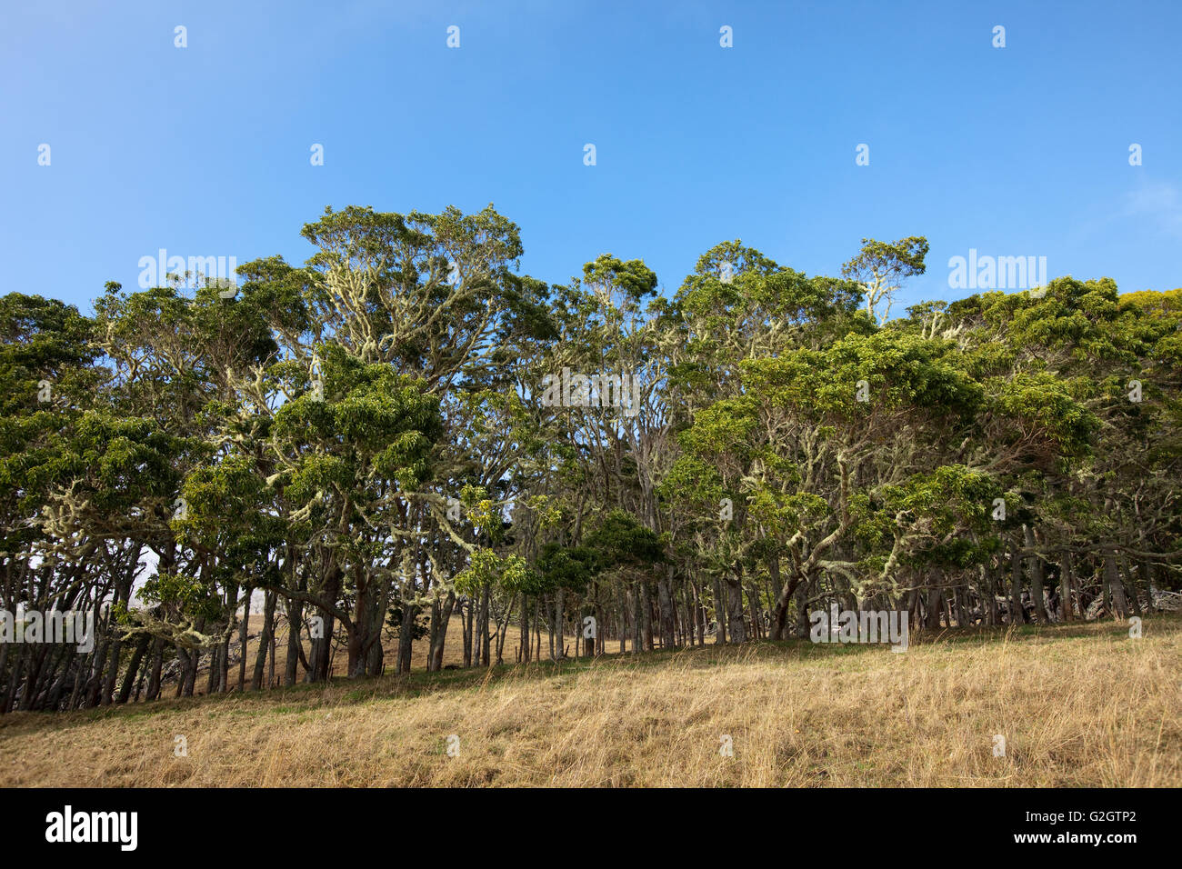 25 year old test planting, Hawaiian Legacy Hardwood, Kukaiau - Stock Image