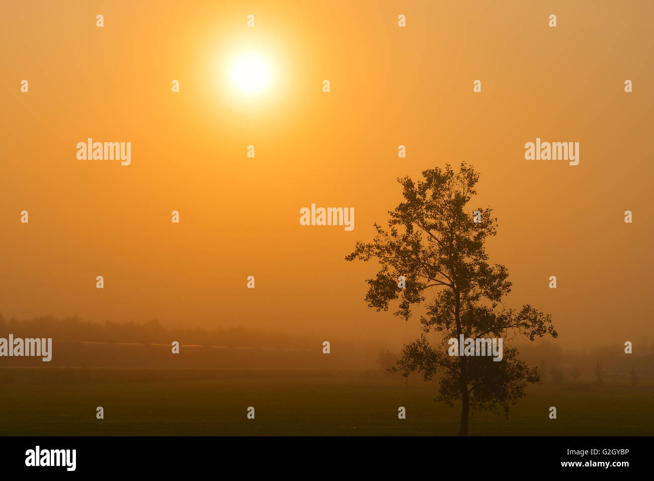 Morning fog and deciduous tree Warren Manitoba Canada - Stock Image