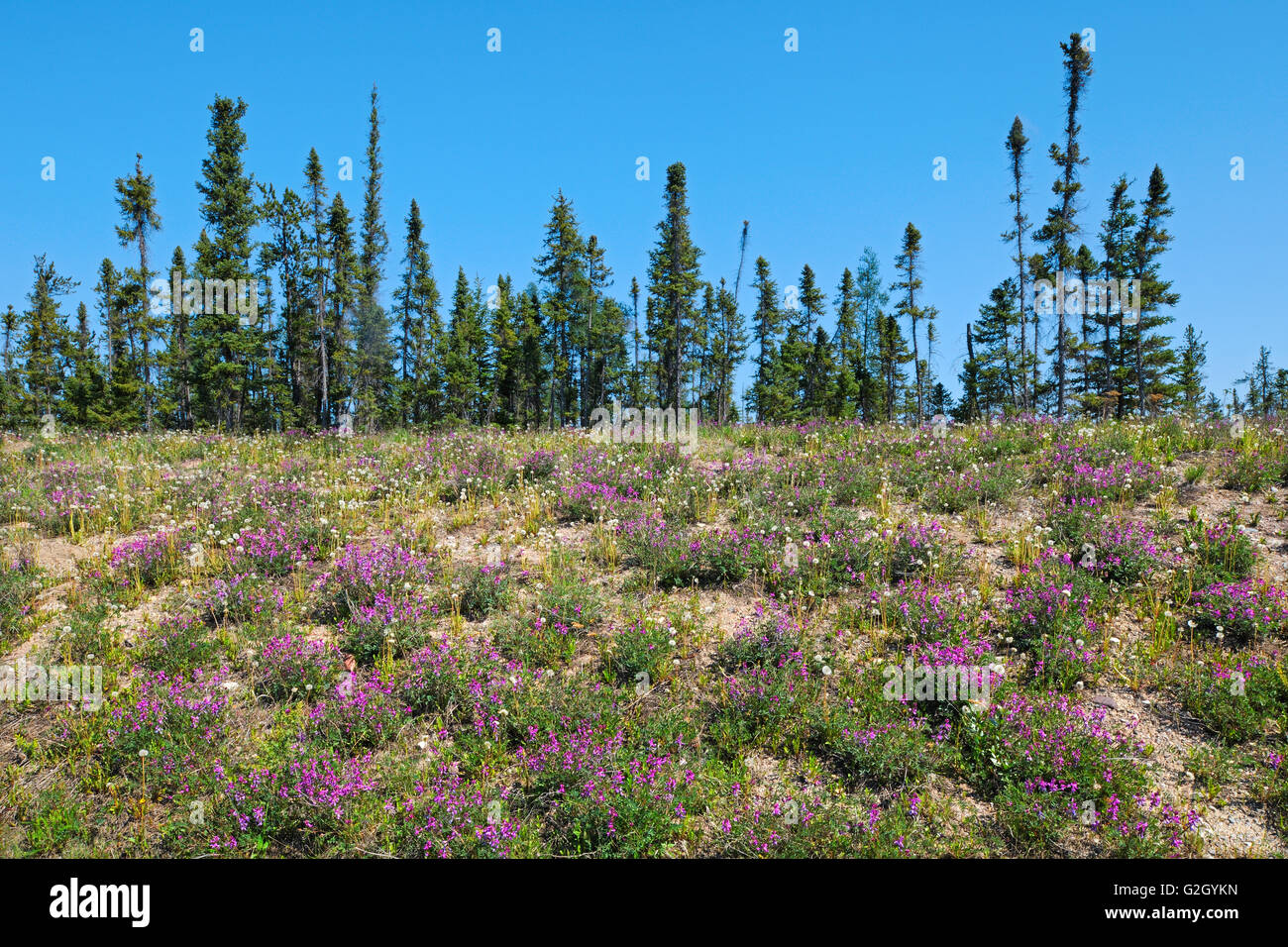 Wild Sweet Pea and black spruce trees in boreal forest  Yellowknife Highway near Fort Providence Northwest Territories - Stock Image