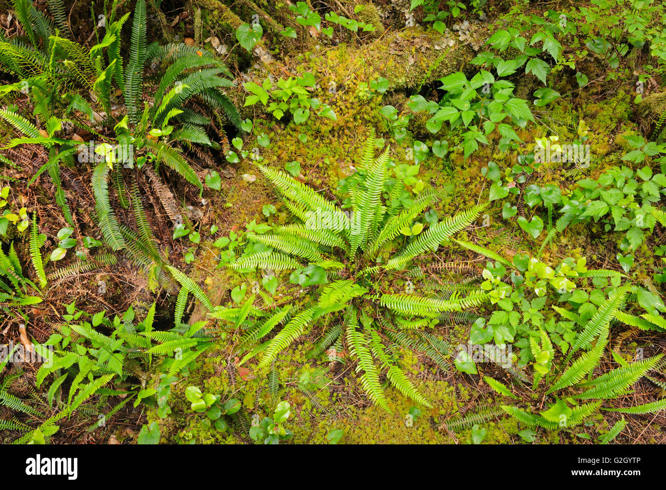 Ferns in undergrowth of forest Helliwell Provincial Park British Columbia Canada Stock Photo