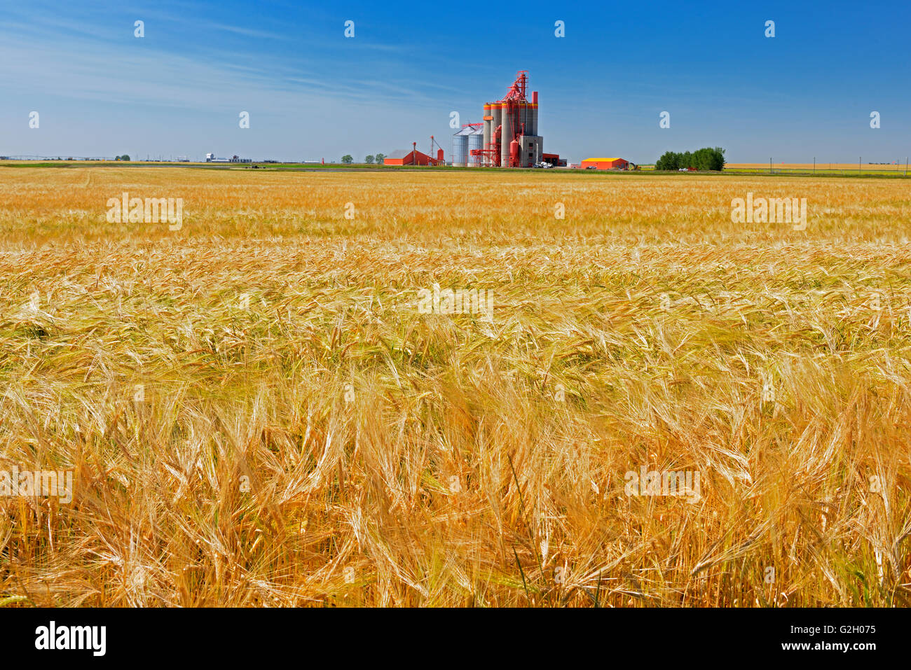 2_Row Barley and high throughput elevator Stirling Alberta Canada - Stock Image
