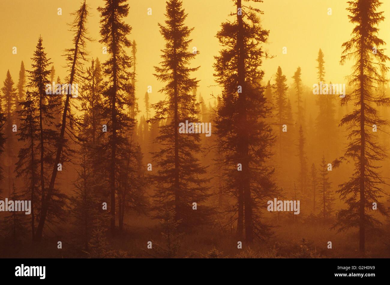 Black spruce trees (Picea mariana) in spruce bog at sunrise Near Upsala Ontario Canada - Stock Image