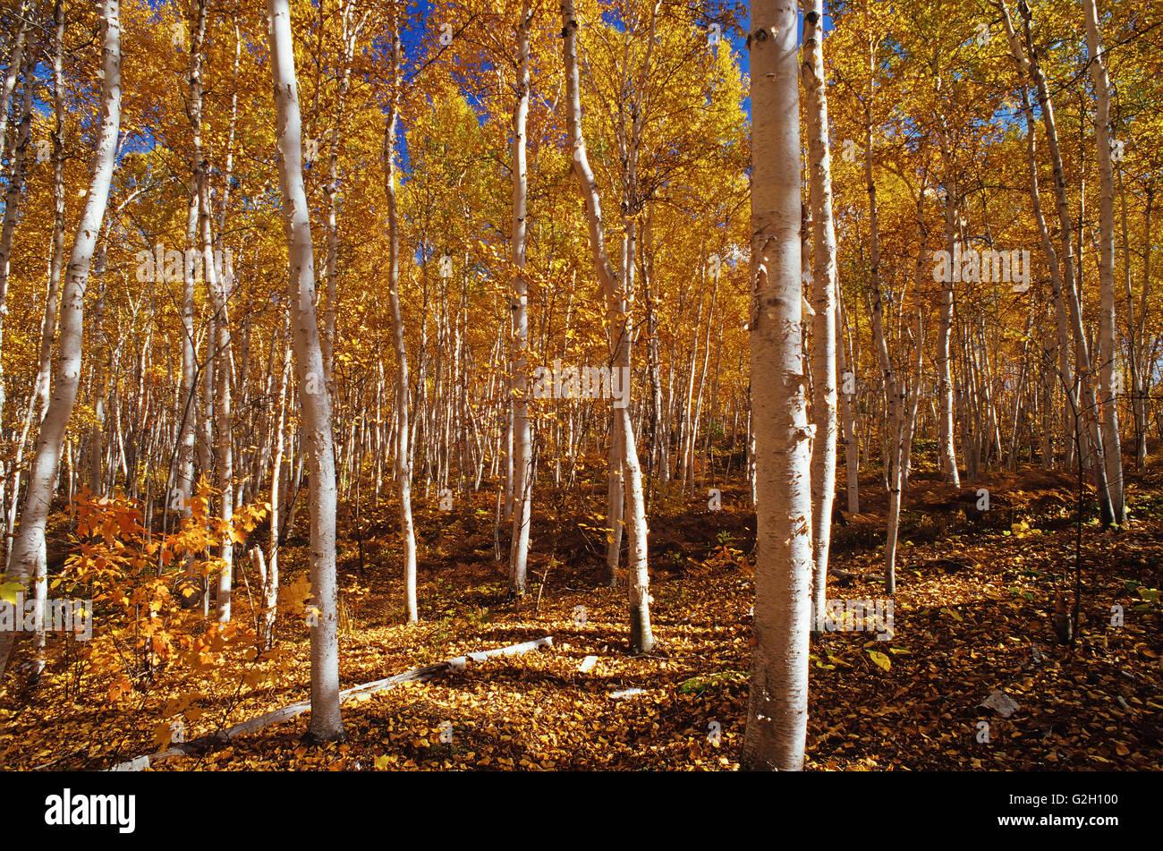 White birch trees in autumn colors Skead Ontario Canada - Stock Image