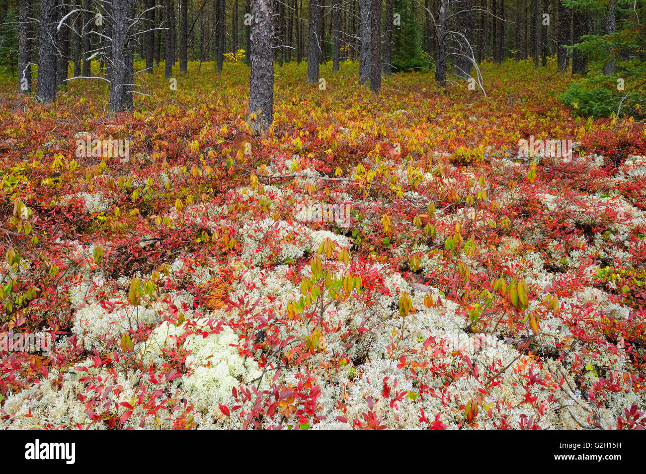 Forest cover in jack pine stand made up of lichens and blueberry in autumn color near Gogama Ontario Canada - Stock Image