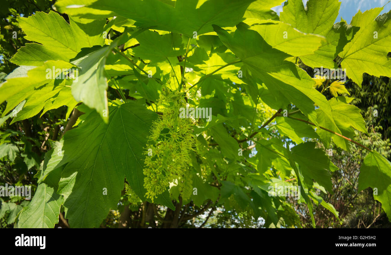 inflorescence of wild sycamore tree blossom long hanging raceme in spring to turn into helicopter seeds Stock Photo