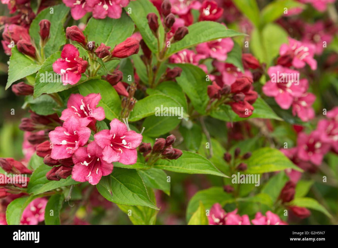Masses of summer flowers to weigela florida pink princess stock masses of summer flowers to weigela florida pink princess mightylinksfo