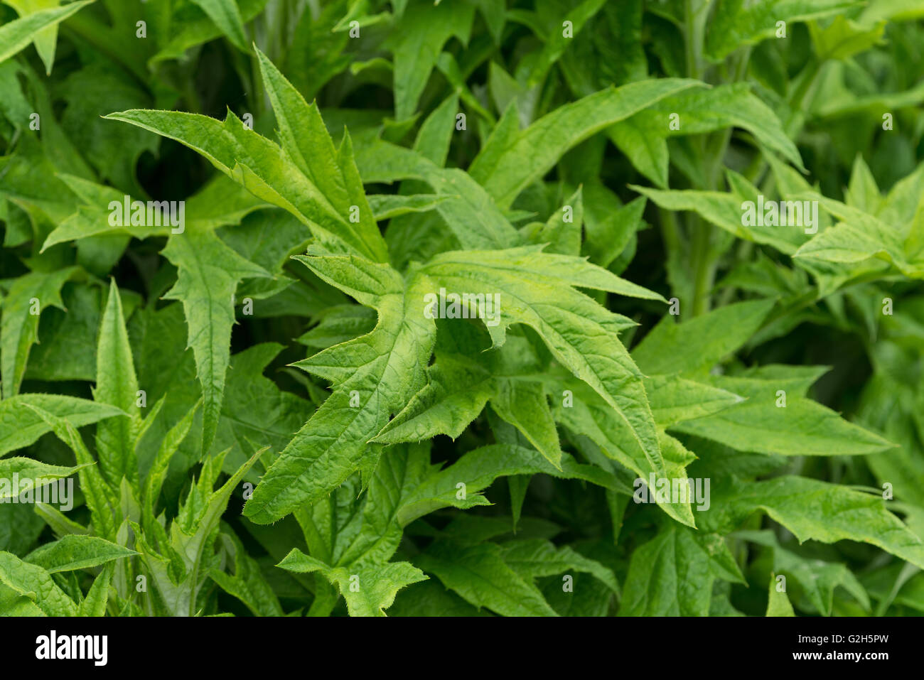 pointed branching pattern of globe thistle Echinops leaves an allergy as fine hairs may cause rash on skin - Stock Image