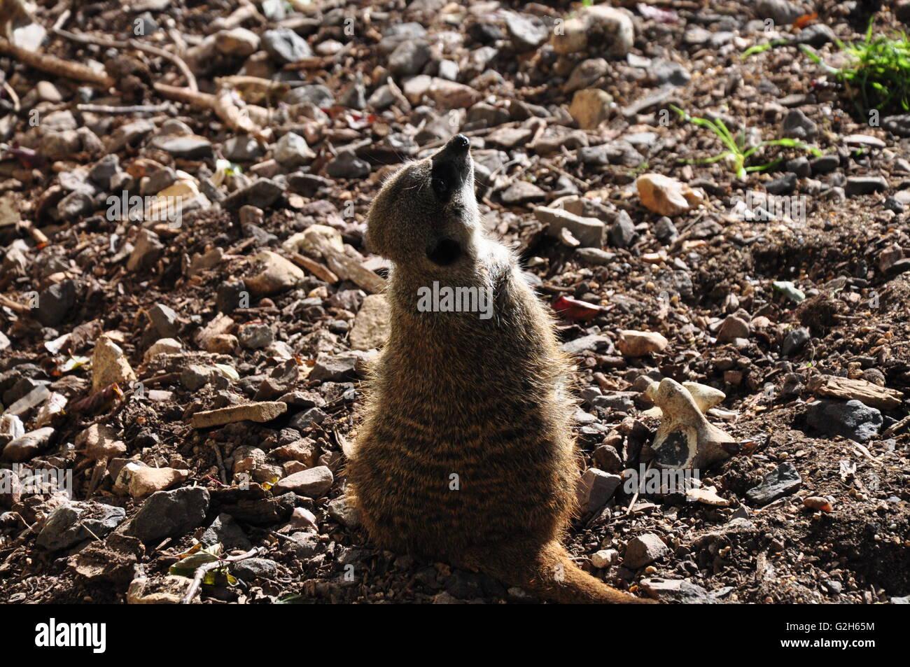 Meerkat in the sun. - Stock Image