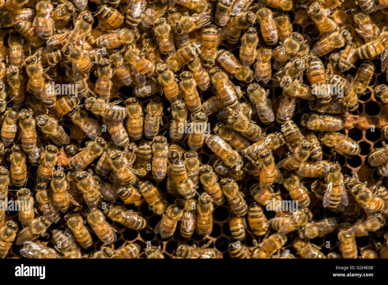 Frame full of worker bees storing honey and tending the nursery, in western Washington, USA - Stock Image