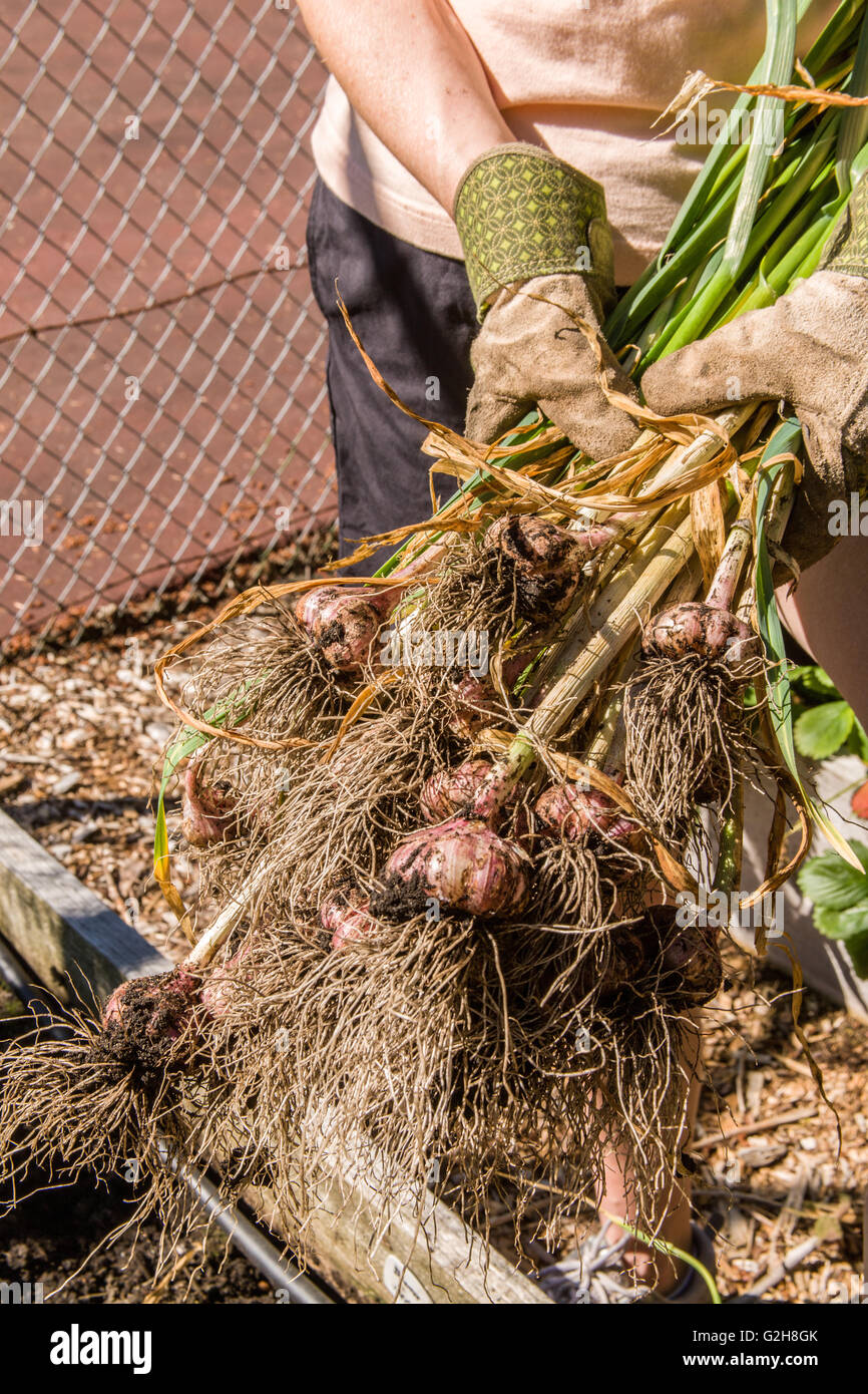 Woman holding freshly harvested garlic in a garden in western Stock ...