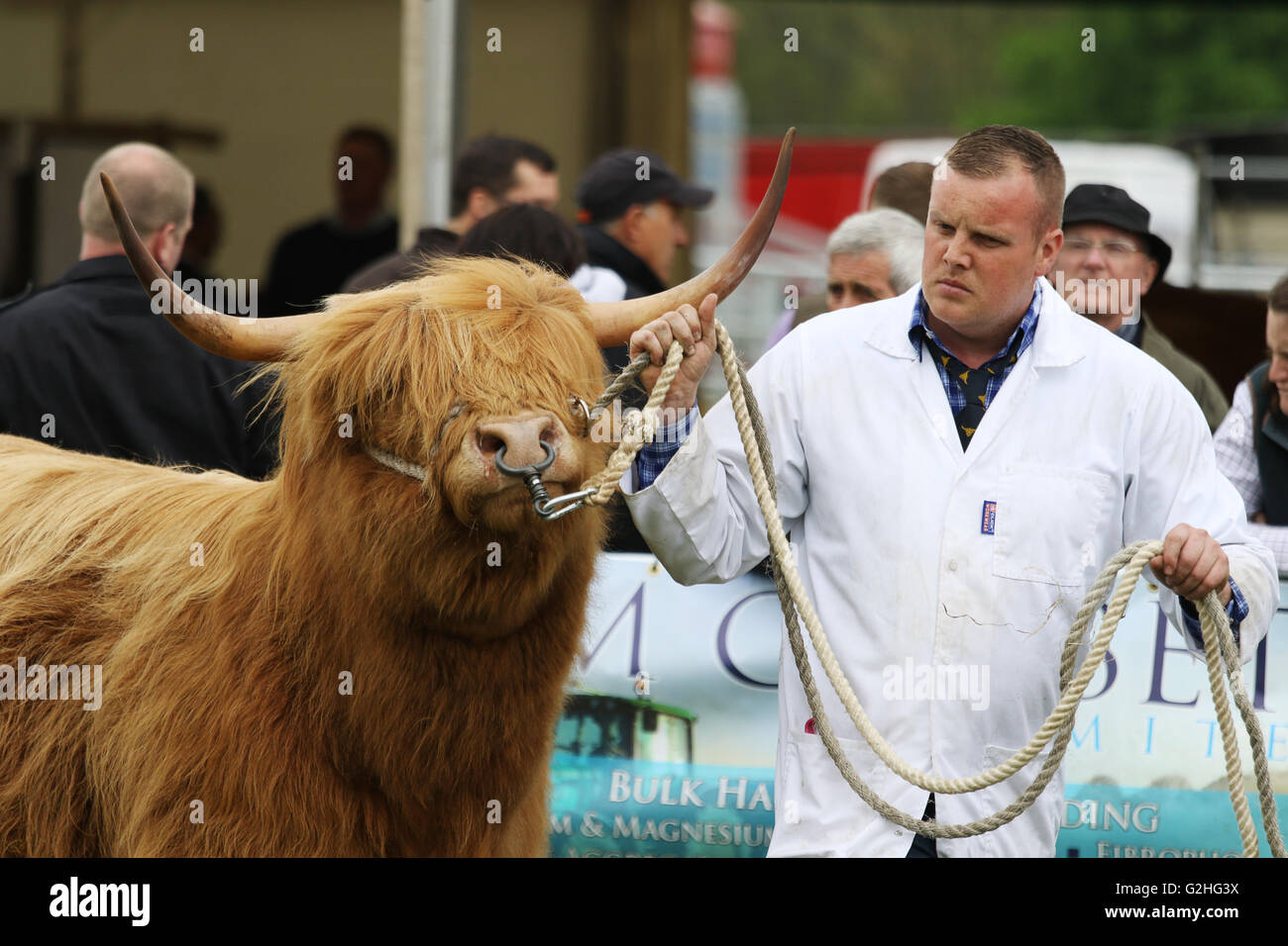 Bywell, England - May 30, 2016: Highland cow at the Northumberland County Show at Bywell in Northumberland, England. - Stock Image