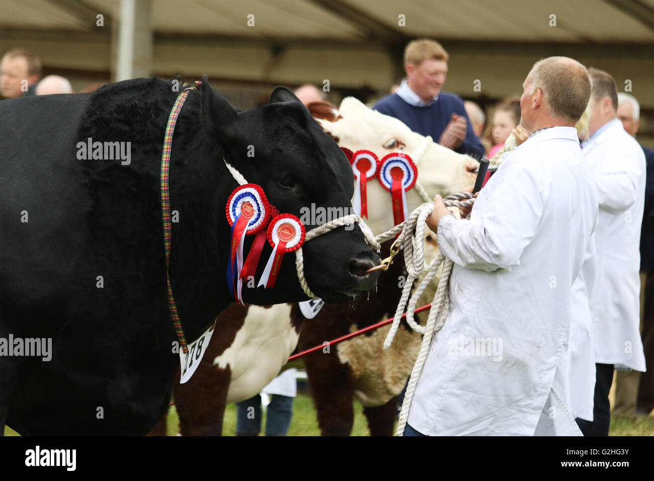 Bywell, England - May 30, 2016: Cattle in the judging ring at the Northumberland County Show at Bywell in Northumberland, - Stock Image