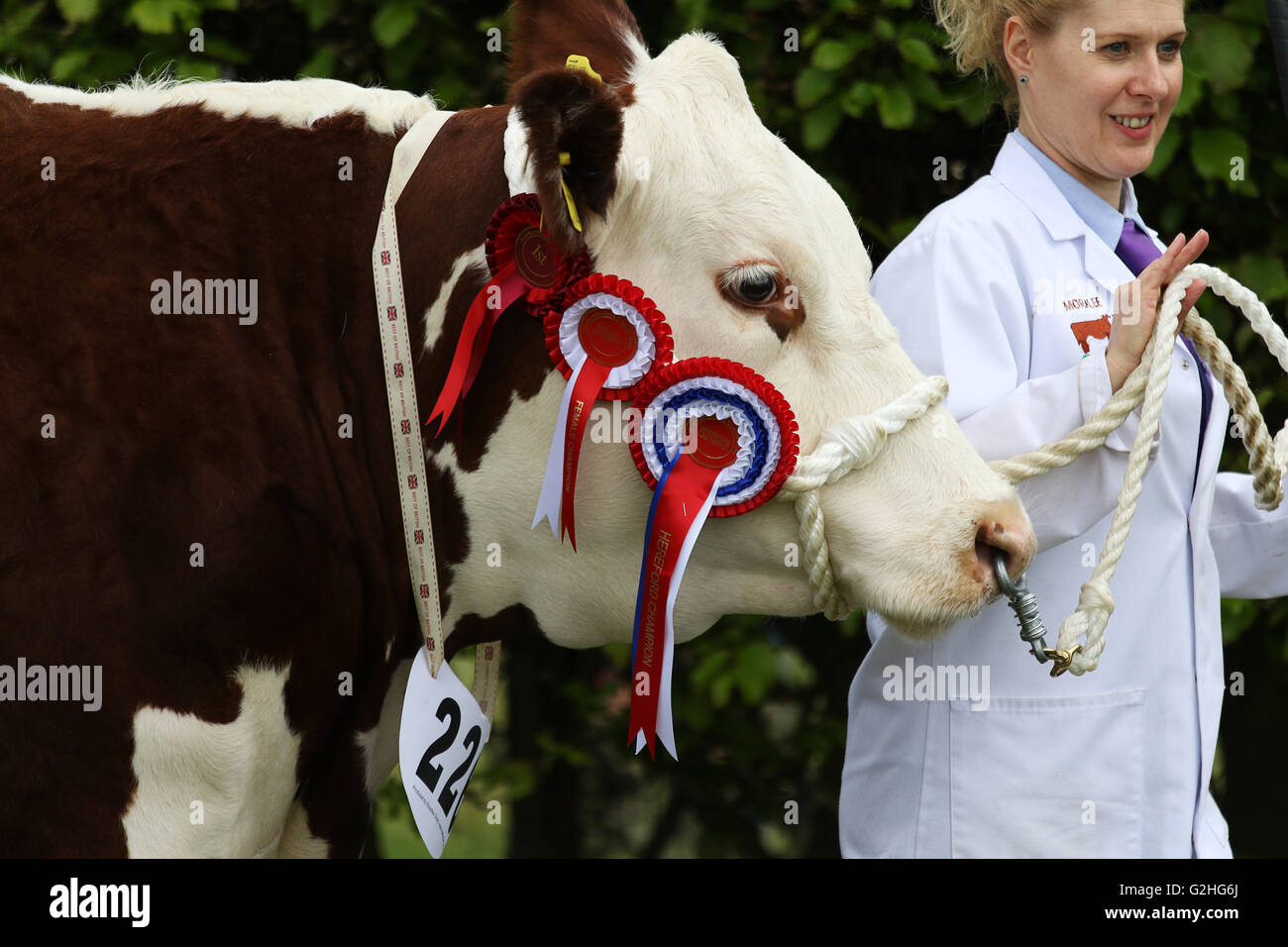 Bywell, England - May 30, 2016: Champion Hereford cow at the Northumberland County Show at Bywell in Northumberland, - Stock Image