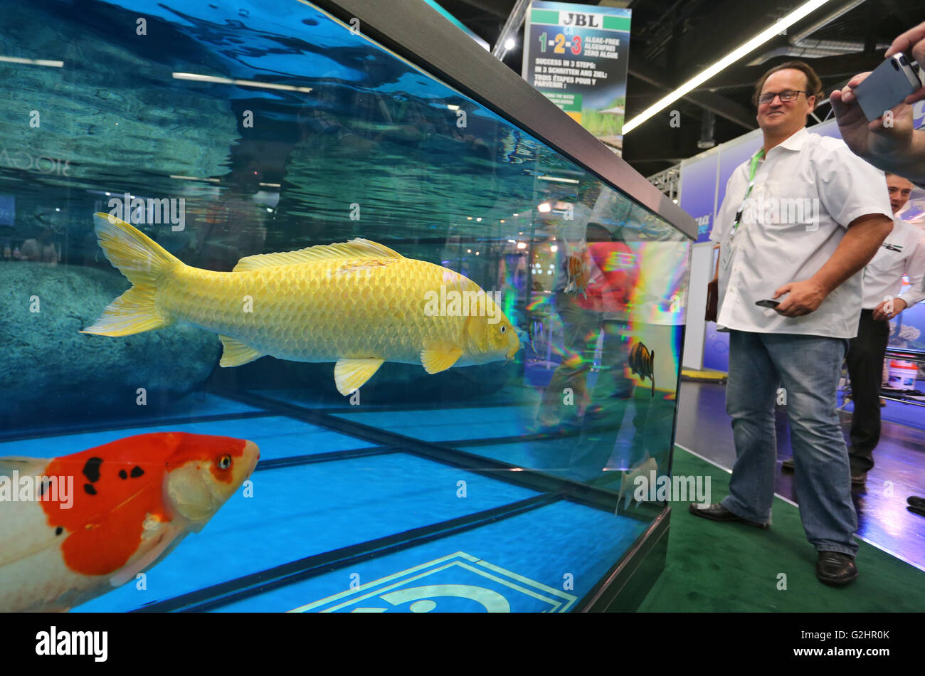Koi Carps Swim In A Large Fish Tank At The Trade Fair Interzoo Nuernberg Germany 26 May 2016 Around 1800 Exhibitors From More Than 60 Countries