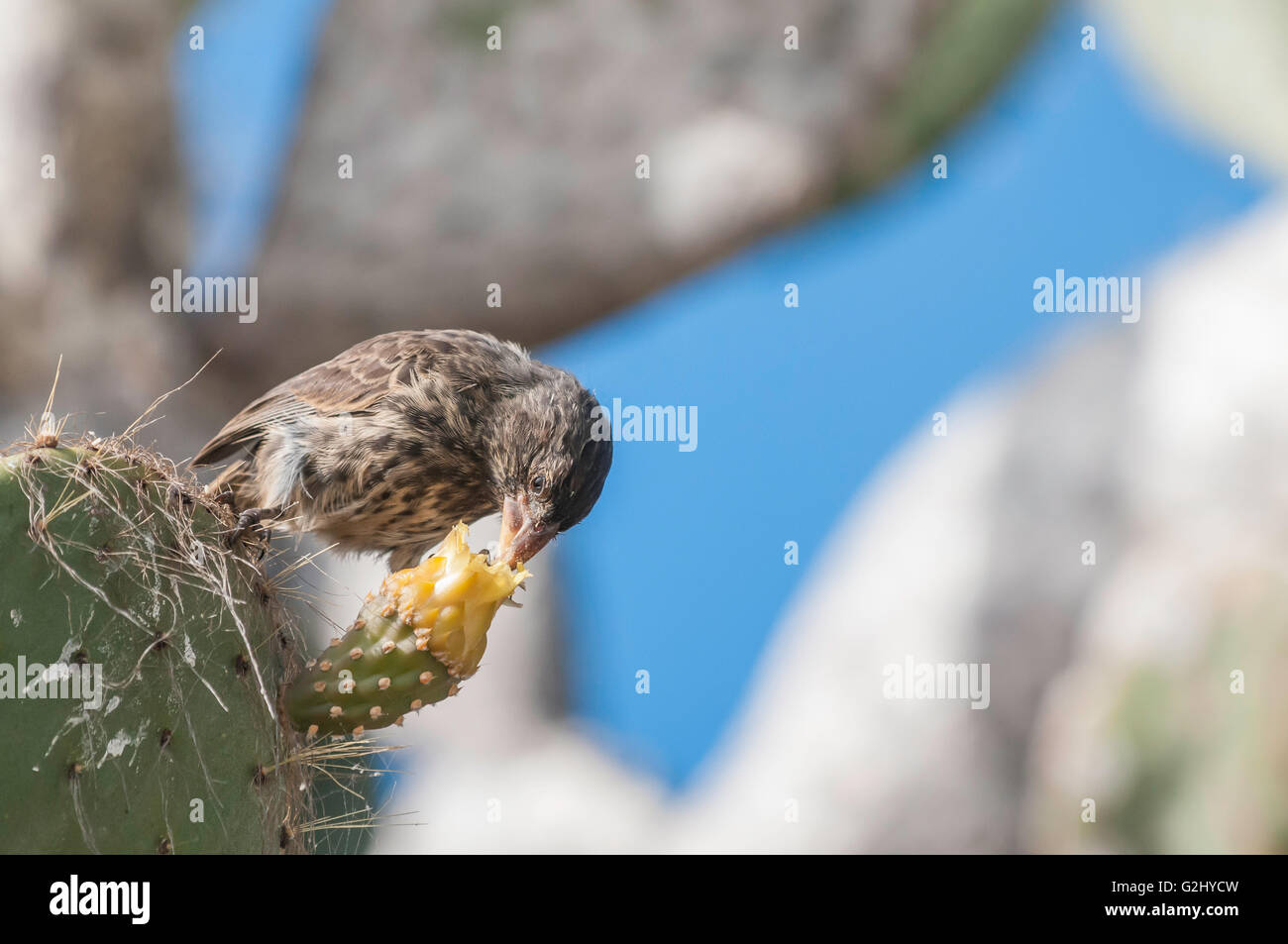 Large Cactus Finch, female, Geospiza conirostris propinqua, Isla Genovesa, Galapagos Islands, Ecuador - Stock Image