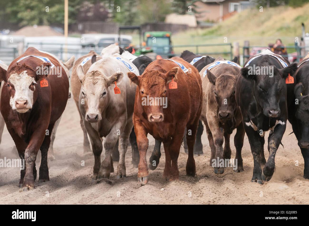 Stock herd, cattle, Cochrane rodeo, Cochrane, Alberta, Canada - Stock Image