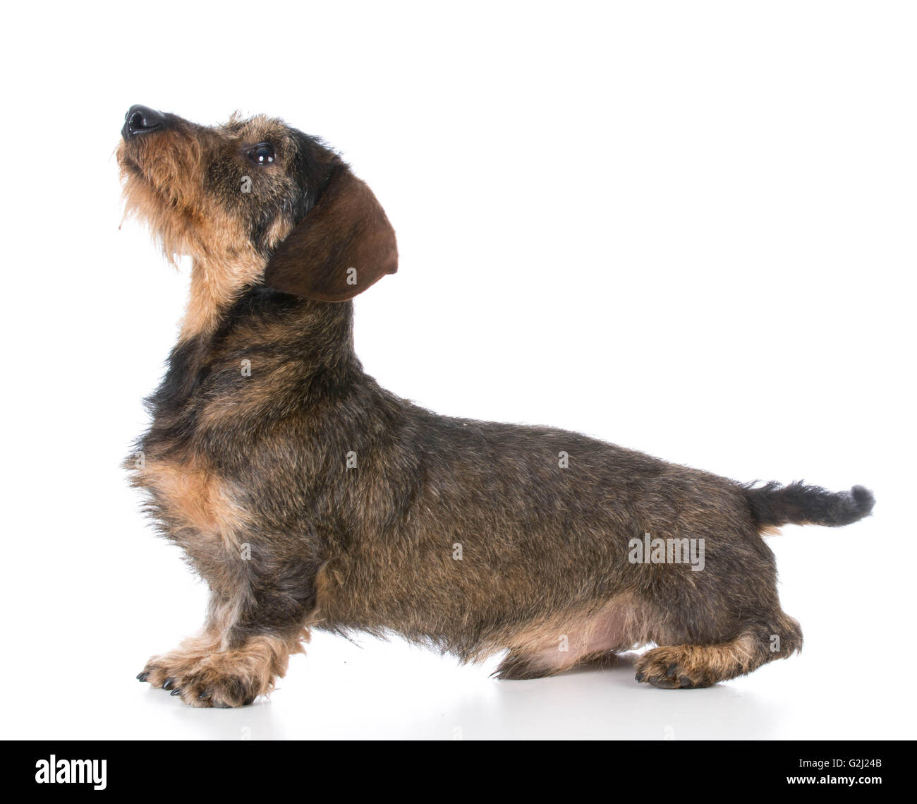 Modern Wirehaired Dachshund Breeders Adornment - Electrical Diagram ...