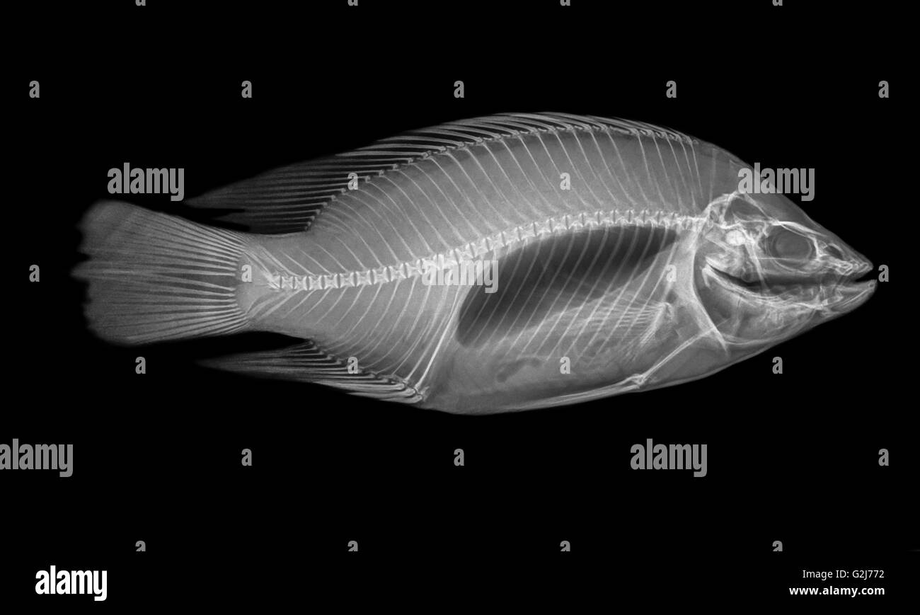 Side view X-ray of a fish on black background - Stock Image